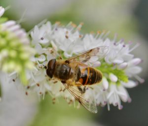 AI technology harnessing the hoverflies.