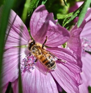 The mite that kills honeybees - Varroa destructor.