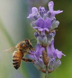 honey bee on lavender