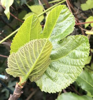 Unusual or exotic trees - The Fig (Ficus carica).