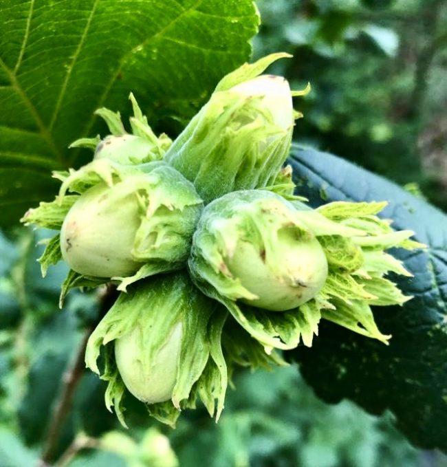 cluster of hazel nuts