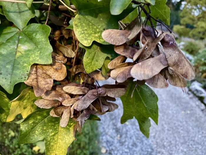winged fruits - samaras