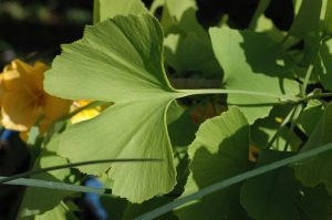 Unusual or exotic trees -the maidenhair tree, Ginkgo  biloba.