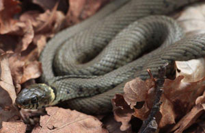 Finding and encouraging reptiles in woodlands