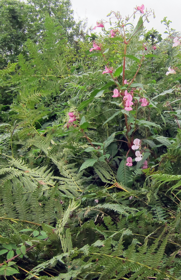 Himalayan Balsam in hedge