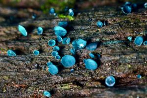 September's Fungi Focus: Green and Turquoise Elfcups