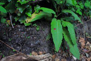 May's Fungi Focus: Dock Leaf Rust (Puccinia phragmitis)