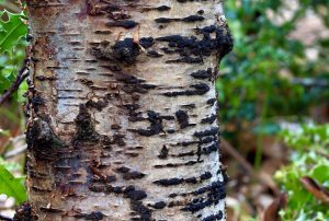 June's Fungi Focus: Woodwarts, Blackheads and Tarcrusts. Part 1