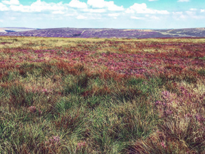 Moorland, heather and bees
