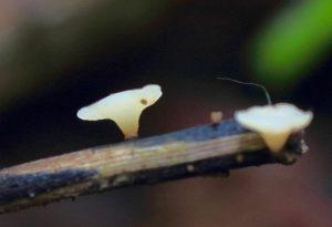 July's Fungi Focus: Ash Dieback (Hymenoscyphus fraxineus)