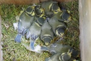 Birds from Woodcock Wood : Part 2 Our Nest and Nest Box Record
