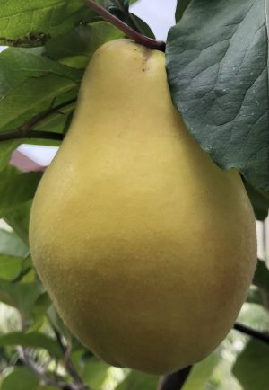 Unusual or exotic trees : The Quince, Cydonia oblonga.