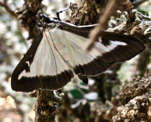box moth