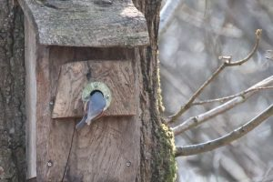 Woodcock Wood: Nuthatches