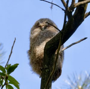 More on birds from Woodcock Wood:Tawny Owls – Boxing Clever (hopefully!)