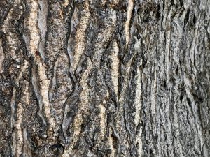 bark of ailanthus