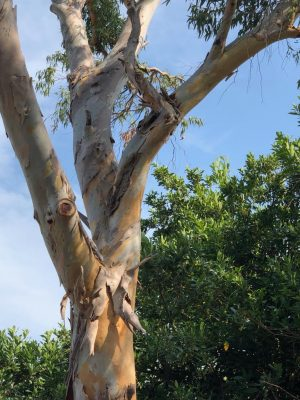 Unusual or exotic trees : The Myrtle family