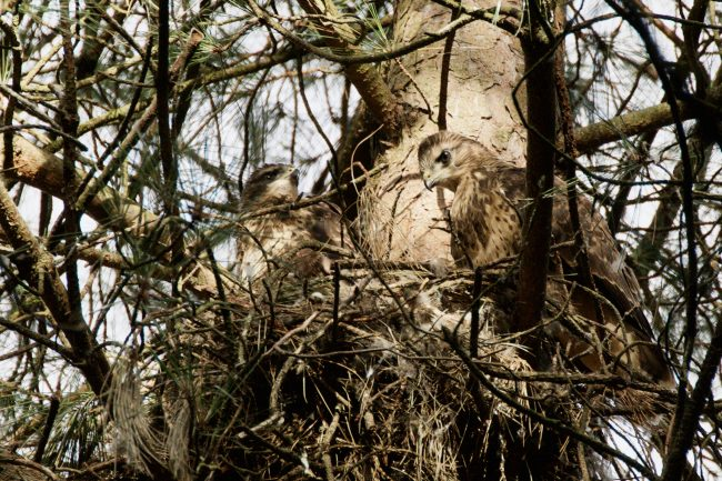 young buzzard and adult