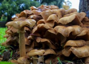 Armillaria - honey fungus
