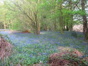 A threat to bluebells ?