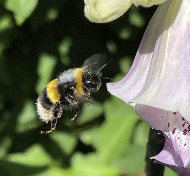 Bumblebee approaching foxglove