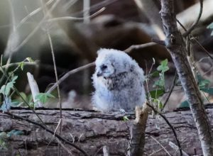More on birds from Woodcock Wood : Part 1 Tawny Owls: the earliest of our regulars to nest