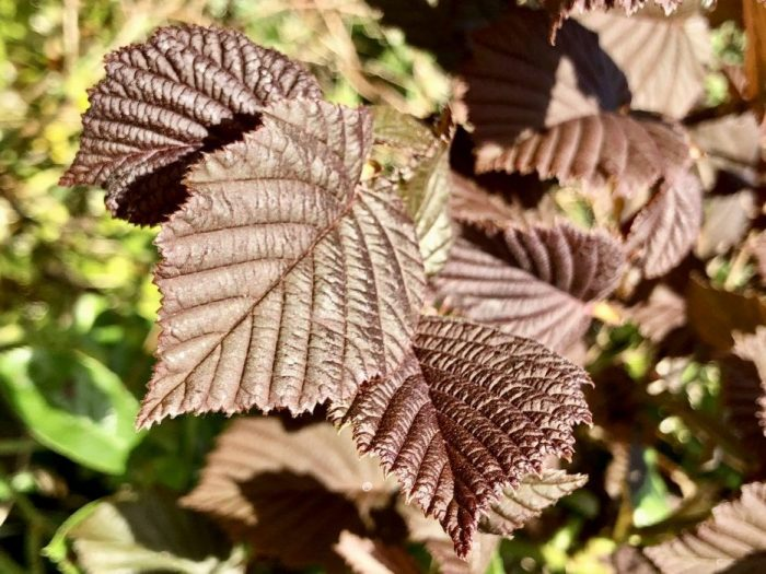 filbert leaf