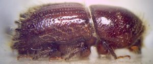Bark beetles : the larger eight toothed bark beetle