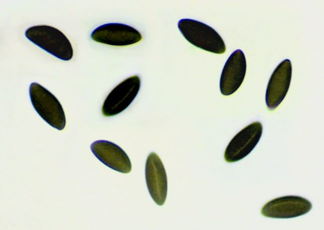 King Alfred's Cakes spores showing germ slit