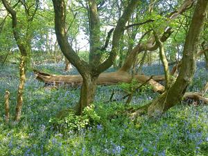 Lath Wood
