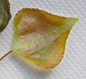 Young leaf of Lombardy Poplar