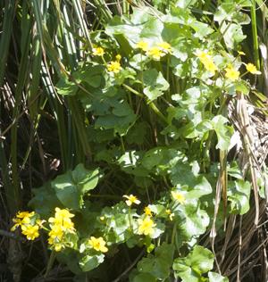 M Marigold plant