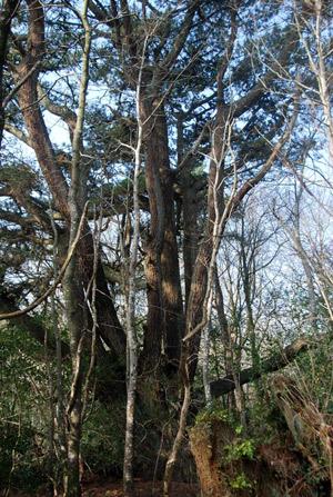 Monterey Pine - Pinus radiata