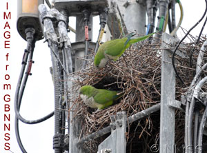 Invasive species : Monk parakeets?
