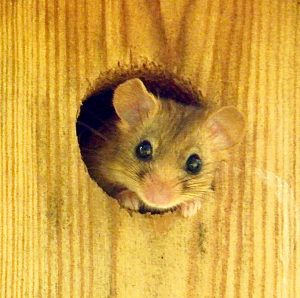 Dormice - Not Mice At All!