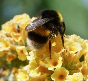 Bumblebees - 'neonics' further evidence.