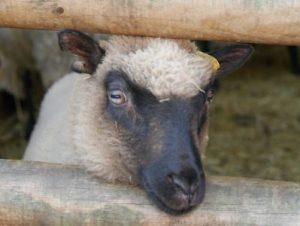 black face sheep