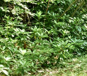 The lasting effect of Rhododendron ponticum in woodlands.
