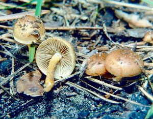from wiki When a fire rages through a woodland or forest, lots of ash and other 'material' is left on the ground. From this debris, fungi are amongst the first forms of life to appear. Often these are the fruiting bodies of what are termed pyrophilous fungi. That is to say, they are fungi that cannot complete their life cycle without a fire and shortly after a fire, their fruiting bodies - the mushrooms appear. Quite how and where these fungi survive in between fires has long been debated. Now some answers have been provided by mycologists at the University of Illinois. It would seem that in between fires, these fungi 'hide' in mosses and lichens. The Illinois mycologists proposed that the fungi were present in the structures of various mosses and lichens and the burning of their 'home' initiated a reproductive phase of development. To test their working hypothesis, they collected soil samples, mosses and lichens from burned and unburned areas in the Great Smoky Mountains National Park. The samples were surface disinfected to remove any spores etc that might have been present on the outside, but then the lichens and mosses were examined in detail to see if the fungi were indeed present within their structures. One 'fire-loving fungus' - Pholiota highlandensis, was cultured from various moss samples and DNA studies confirmed the presence of other pyrophilous fungi in various moss and lichen species. The mosses and lichens may be acting as 'protective shields' that burn away during fire, but allow the fungus to survive. The soil temperatures during a fire would see a reduction in the number of other micro-organisms in the soil, so the lack of immediate competition would favour the pyrophilous fungi - as would the increase in soil alkalinity. It is known that pyrophilous fungi 'prefer' more alkaline condition for spore germination and growth of the mycelium (compared to other soil fungi). Pyrophilous fungal DNA was also found in the burned and unburned soil, so it is quite possible that their spores persist in the soil for long period of time but the fungi will only form fruiting bodies (sporocarps) after a fire. Quite what the exact trigger for this behaviour remains to be determined. https://en.m.wikipedia.org/wiki/File:Pholiota_highlandensis,_Carbofil1.jpg Аимаина хикари