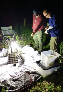 Moth trapping.