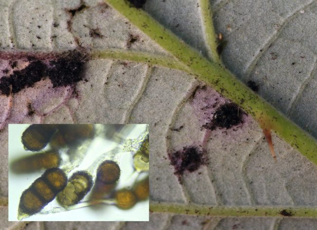 Telia and teliospores of the Blackberry Leaf Rust Phragmidium violaceum