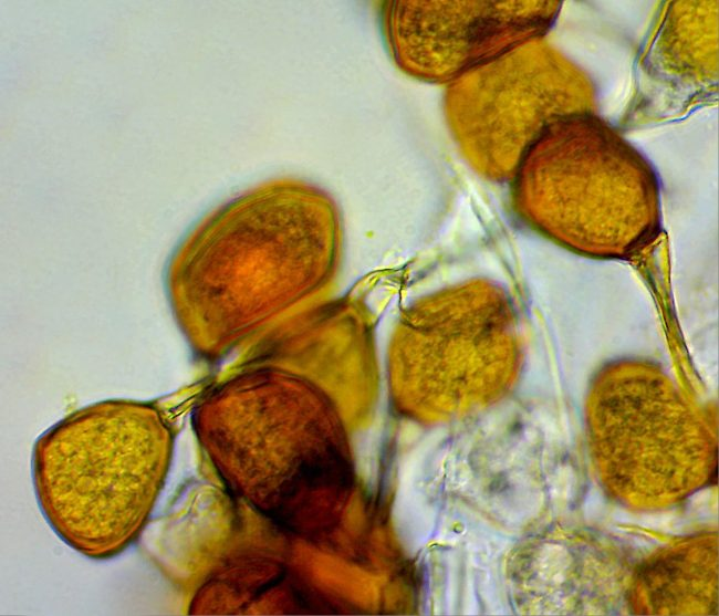 The Bluebell Rust are single-celled, typical of rusts in the Uromyces family