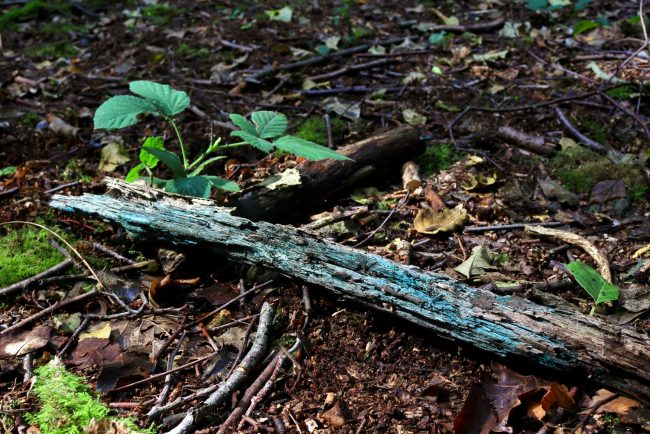 The blue-green tinge running through the wood caused by the mycelium of one of the Cholociboria fungi