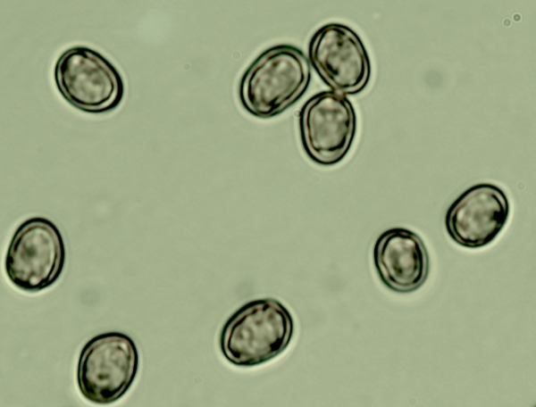 The spores are smooth and without ornamentation