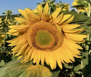 In praise of sunflowers.