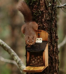 Red Squirrels Find Sanctuary in my Wood