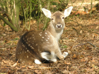 A guide to deer in Great Britain