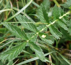 agrimony leaf 2