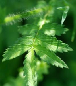 agrimony leaf