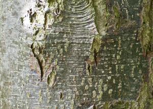 alder bark old
